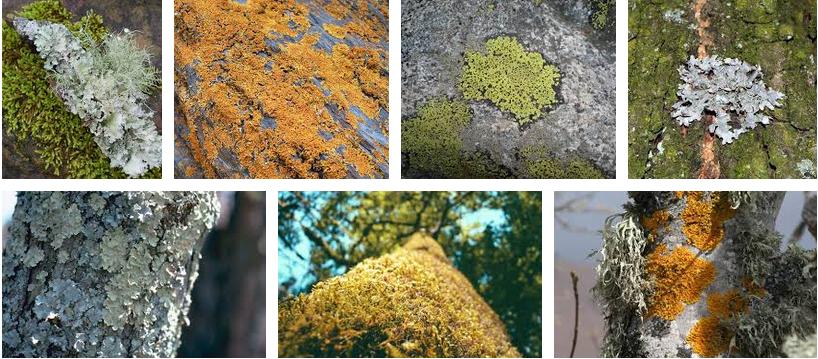 Licheni centraline naturali di monitoraggio